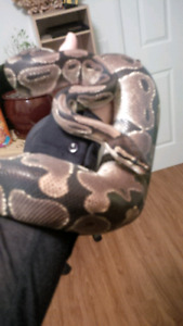 Ball python for sale: SERIOUS INQUIRIES PLEASE!
