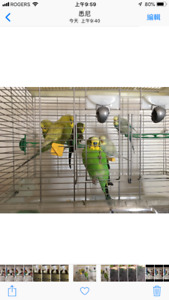 4 Budgies with Vision cage
