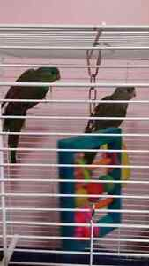 2 sets of birds to rehome