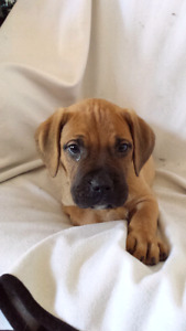 Mastiff Puppies Ready For Homes
