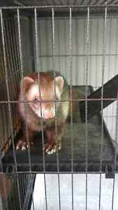 Male Ferret looking for a new home London Ontario image 2