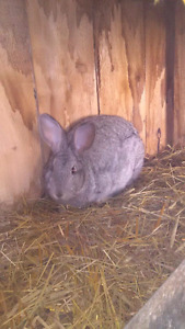 Flemmish giant rabbit