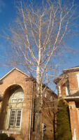 Tree removal phone or text fast reply 647-704-0175.