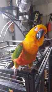 Bird sun conure breed Parrot for sale