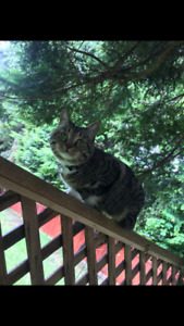Missing cat Port Coquitlam north side (named Lynx)