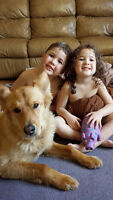2 yr old retriever/shepert mix to give to right home