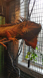 Green Iguana with cage and accessories