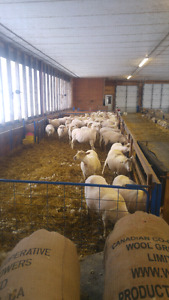 Costom sheep shearing any where in southern ON