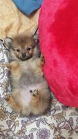 **Cute pomeranian puppies for Sale **