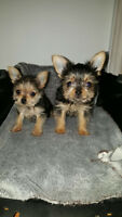 TEACUP MORKIE PUPPIES