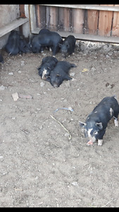 Armstrong heritage piglets