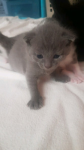 Fully Grey kitten looking for new home
