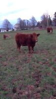 Purebred Simmental Cow