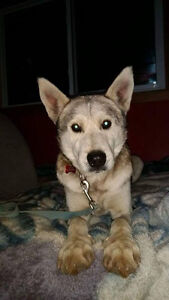 Vin Breed: Siberian Husky mix Gender: male Age: 9 years