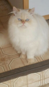 Male Himalayan Persian Flame Point  NOT neutered blue eyes