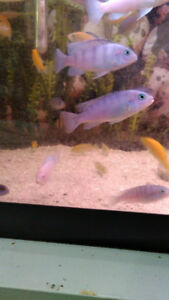 Kenyi and Yellow Lab Cichlids