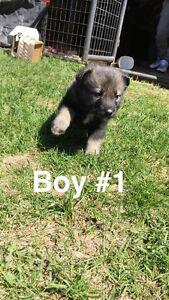Husky / German Shepherd puppies