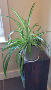 Houseplant: very good Spider plant in a durable pot