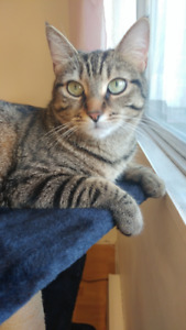 GORGEOUS GREEN EYED TABBY FOR ADOPTION