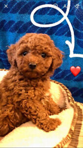 Purebred toy poodle puppies (red colour)