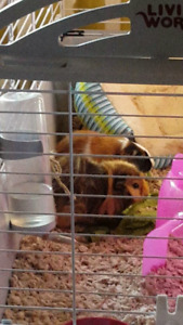 2 female guniea pigs w/ large cage, food and bedding
