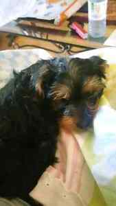 Yorkie puppy for adoption