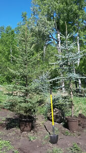 Colorado Blue Spruce Up to 8 feet tall