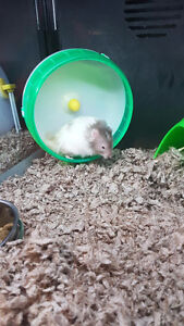 Selling 2 hamsters moving and dont have room