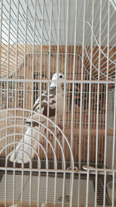 Ringneck Dove and Cage