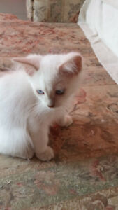 Purebred Ragdoll kittens Variety of colours