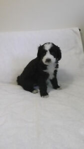 Bernedoodle Pups Ready To Go Soon