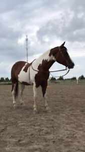 Gorgeous Tobiano Paint Gelding For Sale / Lease