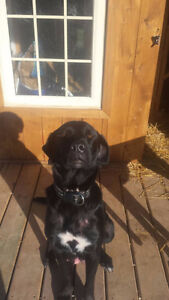 Black Lab/Cane Corso Cross Puppies for sale-MUST GO!!!!! London Ontario image 4