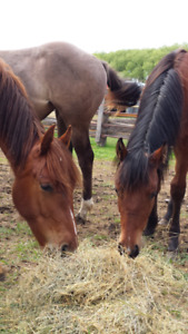 Yearling QH cross fillies