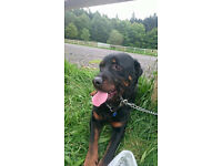 Male Rottweiler 4 years