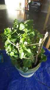 Kananchoe plant for sale