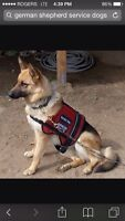 Looking for large breed to train as stciace dogs ple
