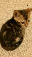 Bengal kitten ready to go