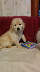Golden Doodle Puppies (Goldendoodle) - Golden Retriever / Poodle
