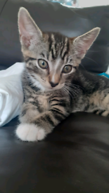Gorgeous female tabby kitten for sale ,ready now