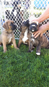 Boxer X puppies
