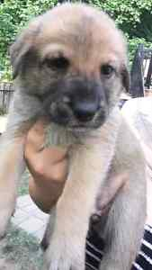 3/4 king shepherd 1/4 husky puppies