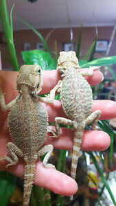 TRADE for crested gecko's