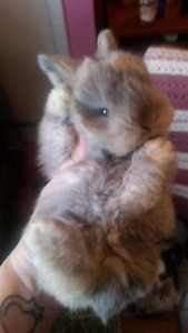 Adorable Fuzzy Lop Bunny Looking for Forever Home and Family.