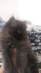 himalayan kitten for sale 8 weeks old ready to go firm on price