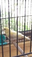 YELLOW MALE CANARY FOR $60