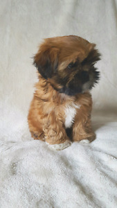 Adorable shih tzu puppies ready to go