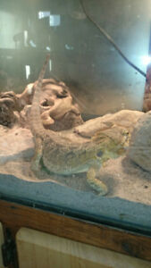 Bearded Dragon for sale to a good home