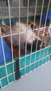 2 male guinea pigs 8 months old! All included