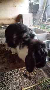 Lop and New Zealand Rabbits